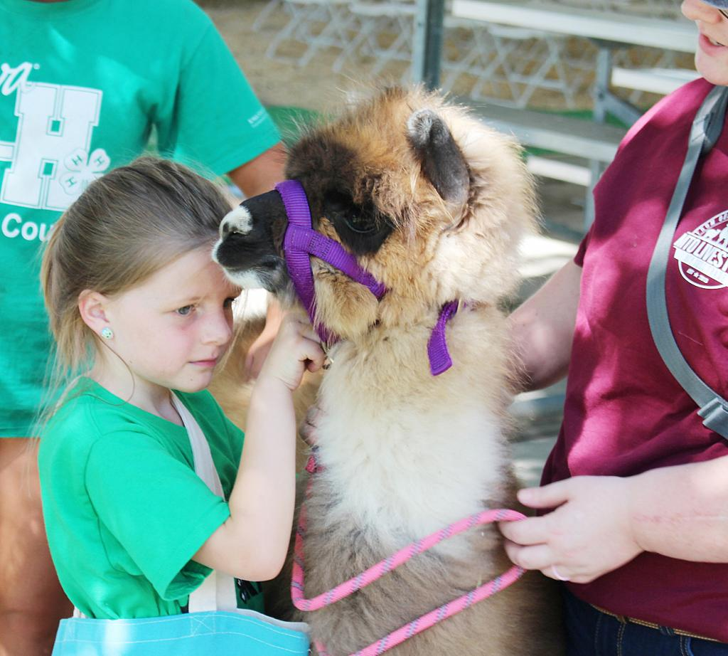 Olivia Klein adjusts the lead on her llama while leading it around for practice during events at the Shelby County Fair in July.  Once again, the fair offered a lifetime of memories for fair-goers in Shelby County.