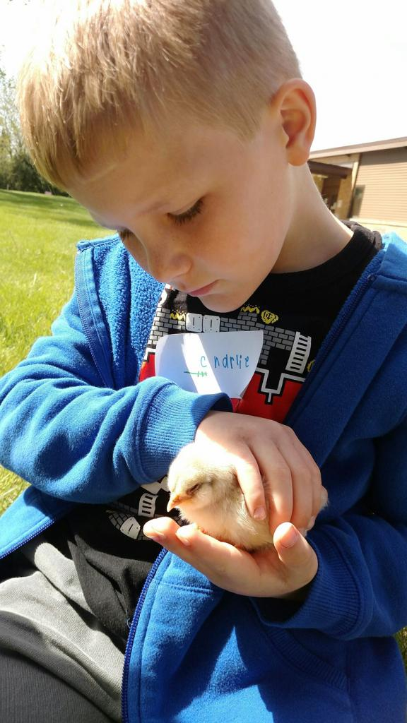 Charlie Heese cradles a baby chick during a walking field trip before the end of the school year to learn about farm animals.  (Photo contributed)