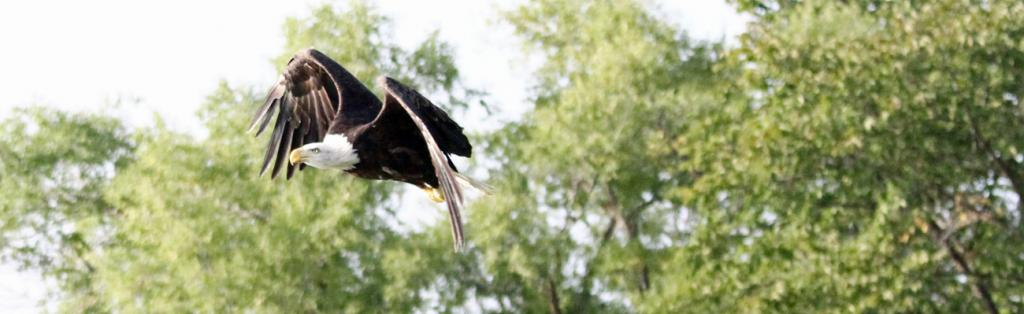 The eagle is released and takes off to the sky.