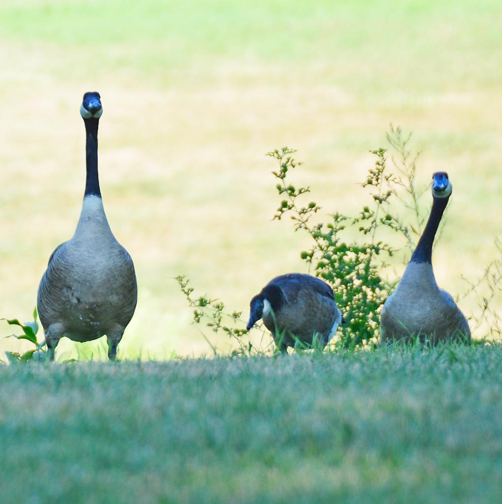 Geese are causing some damage and defecating throughout Little George Park this summer.  Upwards of 35-40 have been spotted at the park.