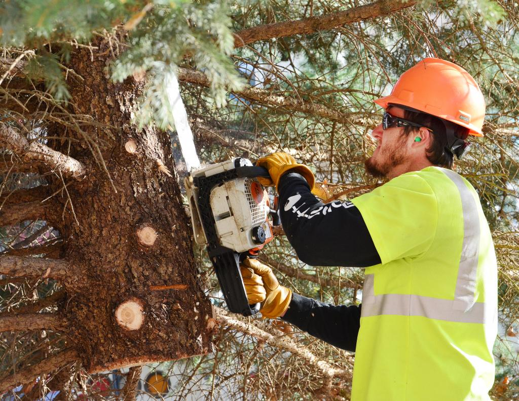Josh Travis works to trim branches off the bottom of the official Shelby County Christmas tree