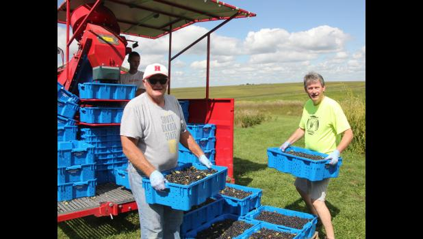 Kent Klinkefus (left) and Mike Cain recently harvested a good crop of Aronia berries.  They are among a few groups in western Iowa who have started planting the berries.